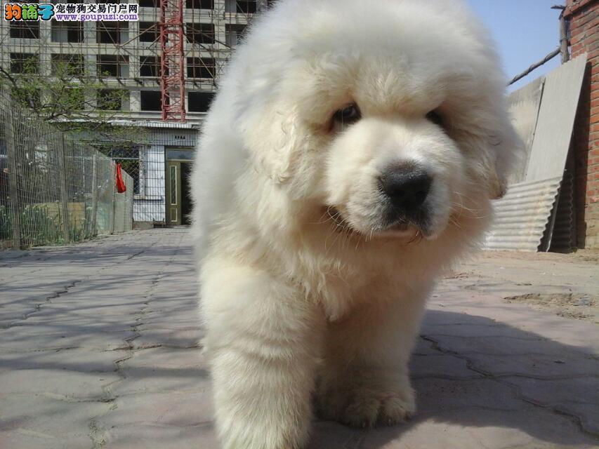 大体型的大白熊狗狗多只出窝待售
