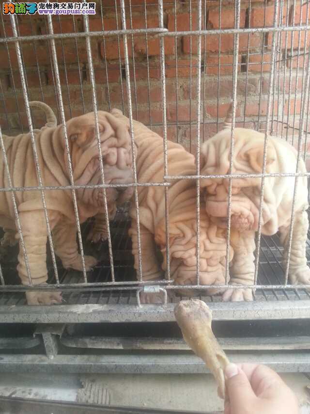 最丑的狗沙皮 三个月的沙皮幼犬疫苗全