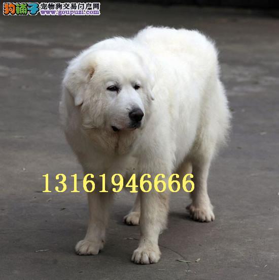 大型犬白色大白熊幼犬 毛量大骨架足