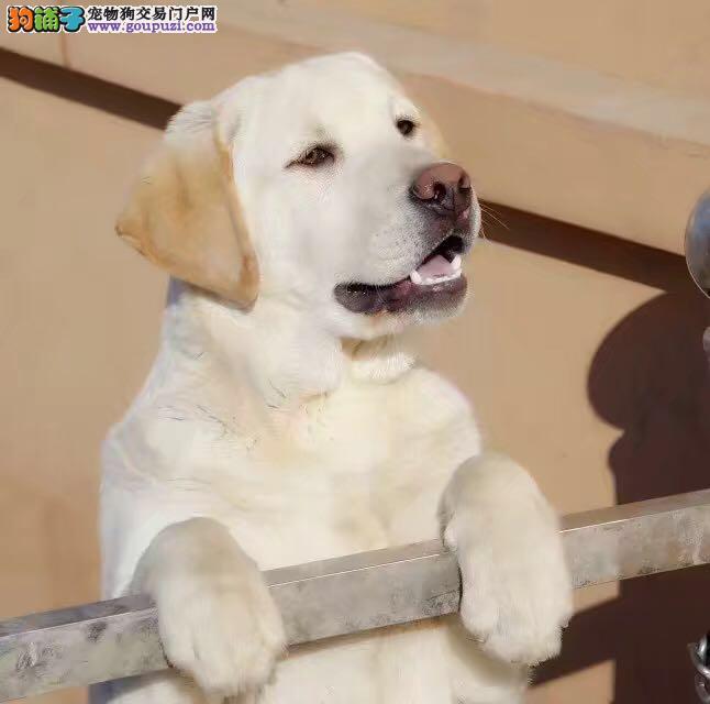 高品质纯种奶白拉拉犬出售 赛级 拉拉犬