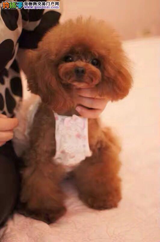 超可爱纯种茶杯泰迪.玩具贵宾犬出售