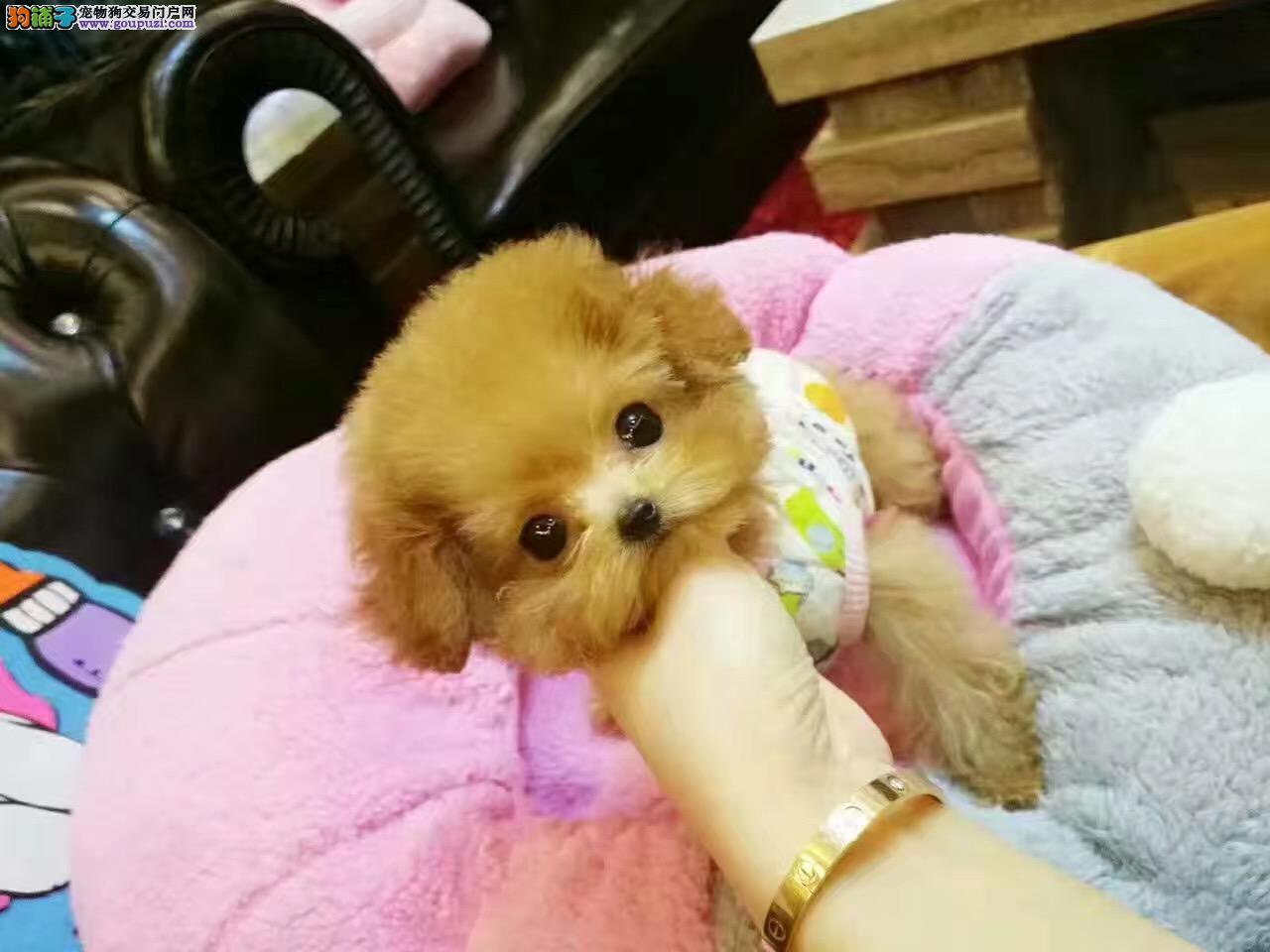 健康百分百 纯种泰迪犬 各种颜色均有,韩系泰迪