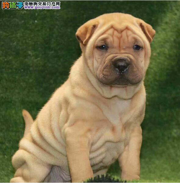 纯种健康的沙皮狗出售了 公母都有欢迎选购