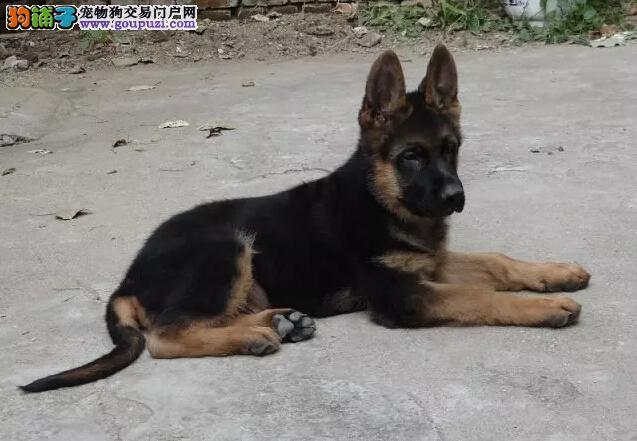 纯种健康的狼狗幼犬出售了 公母都有欢迎选购