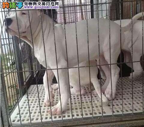 基地直销各种名犬杜高犬出售 可签协议包养活