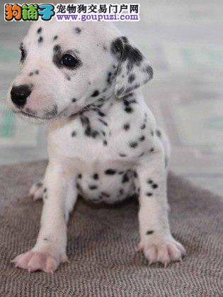 专业繁殖斑点大麦町犬 幼犬出售 疫苗做齐欢迎咨询