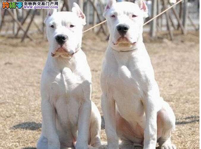 出售纯种正品杜高犬 各种名犬都有可签协议包养活