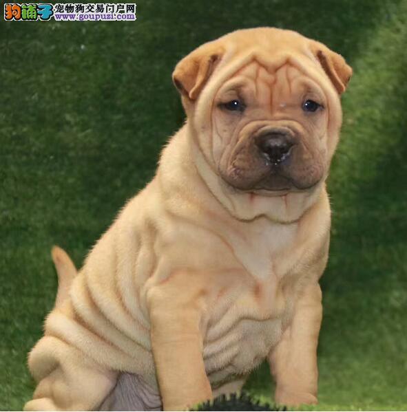 出售纯种沙皮狗出售 周扒皮狗出售疫苗驱虫做完