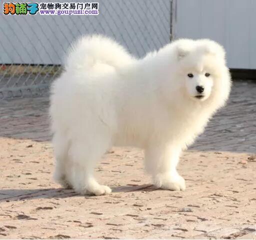 出售纯种正品熊版萨摩耶 各种名犬都有可签协议包养活