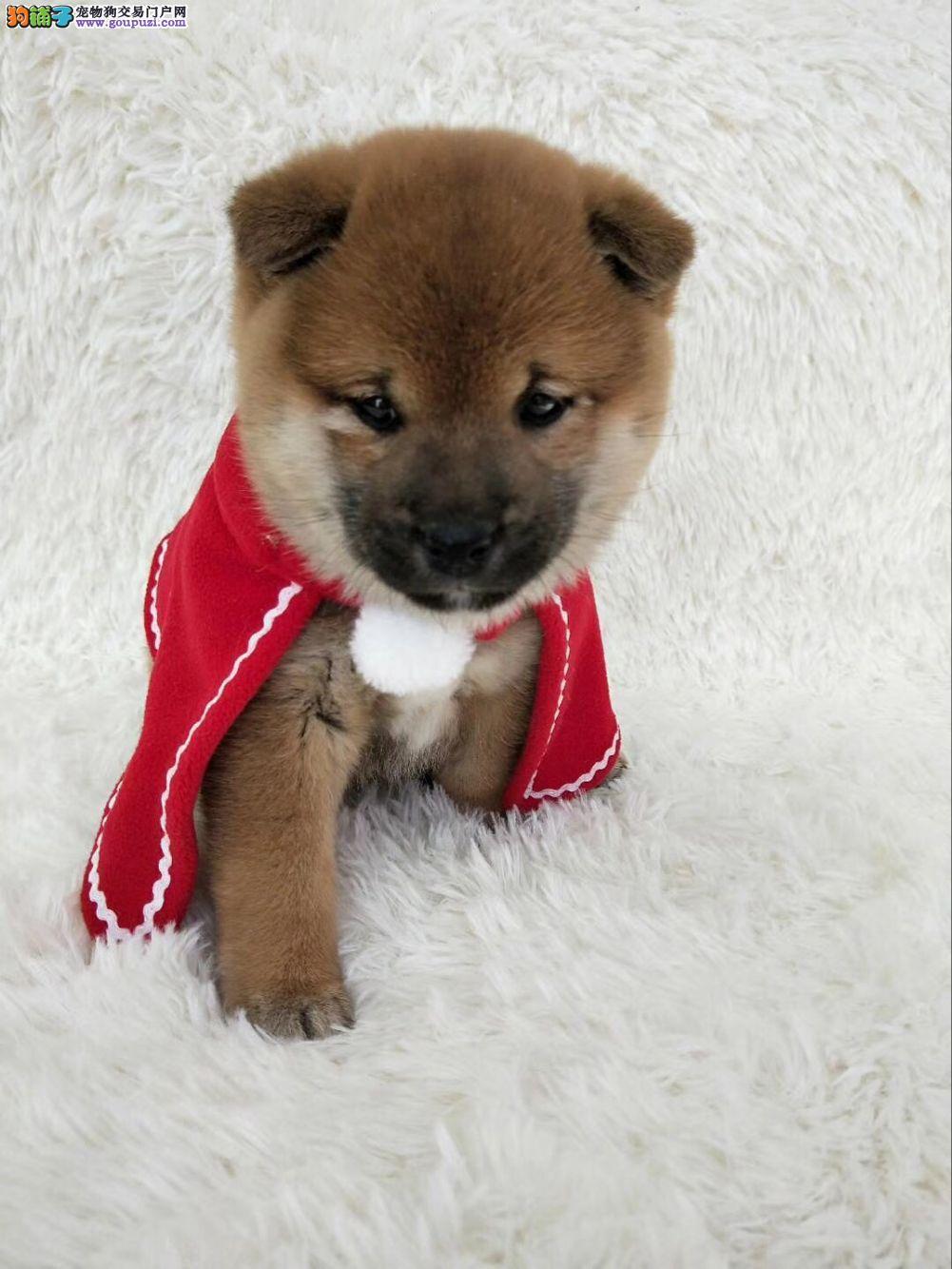 出售两到三个月的柴犬宝宝