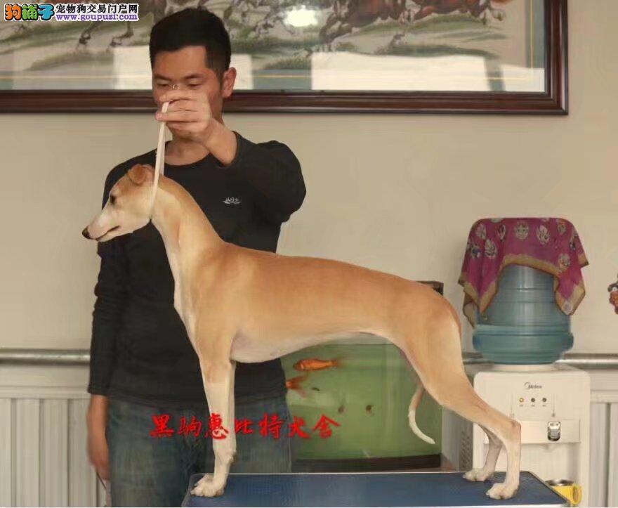 北京猎兔犬赛级惠比特找黑驹惠比特犬舍
