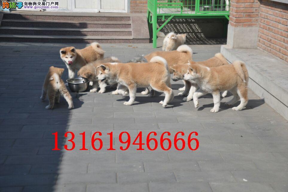 日系秋田犬宝宝 尊贵品质 高端伴侣犬