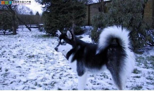 阿拉斯加犬的智商真的很高吗?6