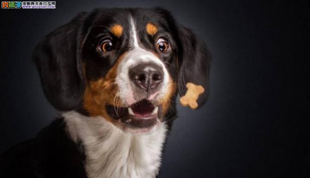 澳洲狗狗的特殊癖好——爱舔癞蛤蟆5