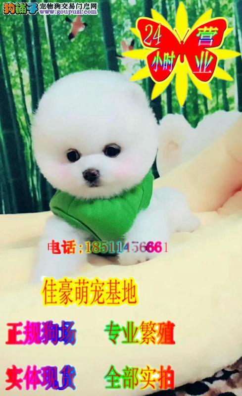 球体可爱 活泼博美犬宝宝出售体型超Q