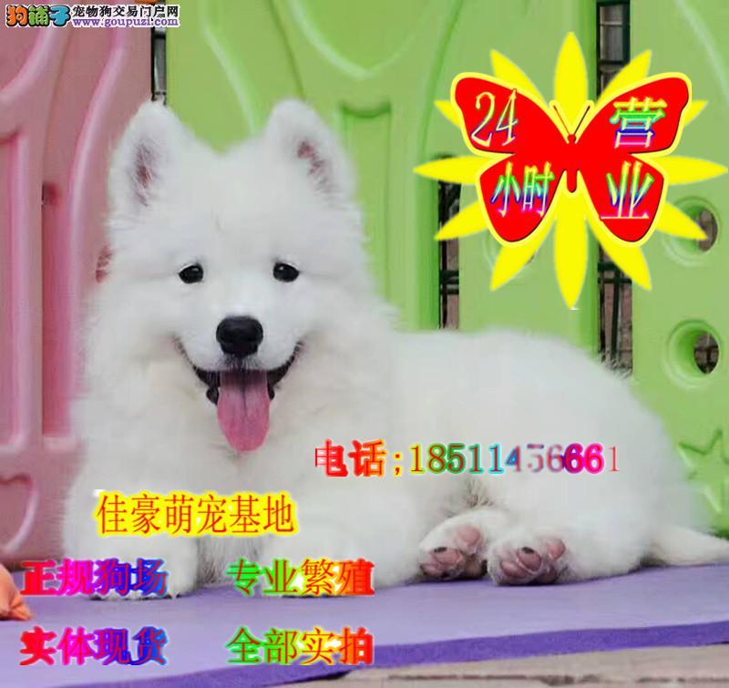 白雪公主。纯白色,双眼皮,萨摩耶犬,已简单动作