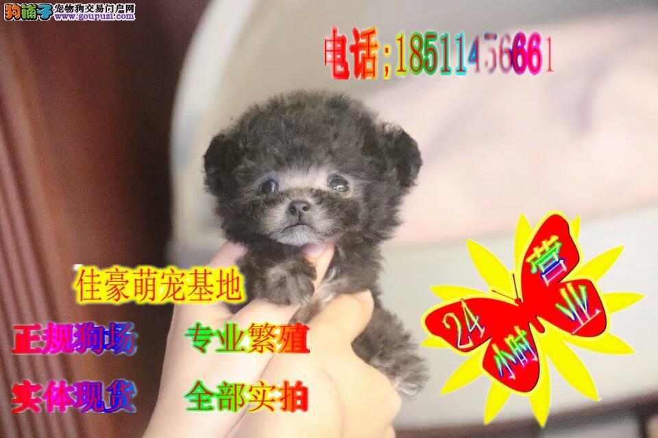 迷人可爱 超萌韩系泰迪宝宝 健康纯种百分百