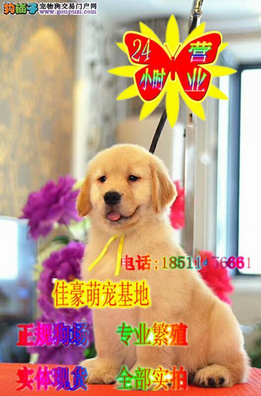 纯种金毛 精品金毛幼犬 可视频看狗常年繁殖