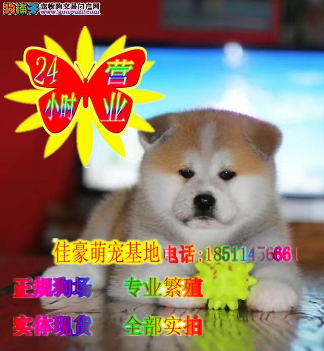 正规犬舍纯正的日系秋田犬,国外登陆冠军级后代