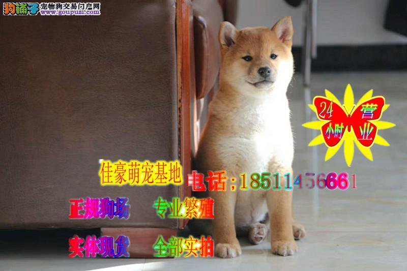 实体犬舍 正规繁殖 纯种柴犬 赛级血统