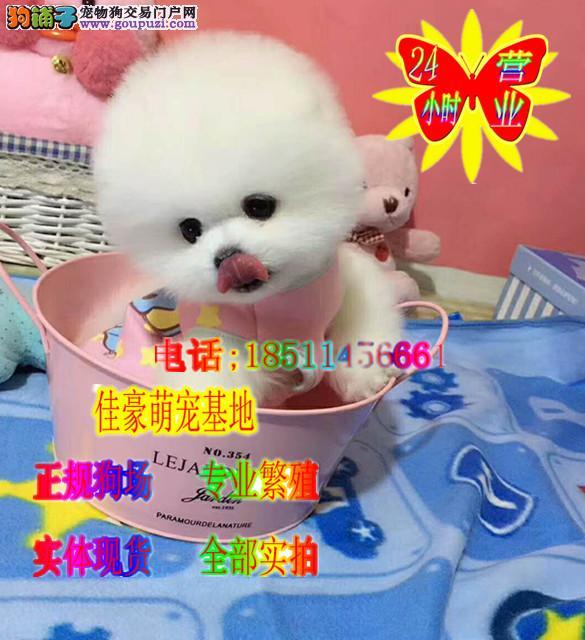 毛球宝宝 网络最火小球体博美犬 纯种哈多利博美犬
