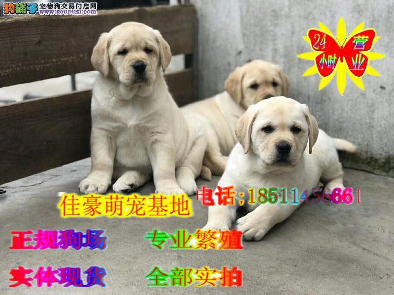 导盲犬纯种拉布拉多犬 冠军后代 纯种拉拉犬
