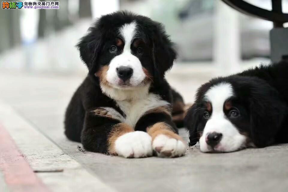 伯恩山犬养殖基地打完疫苗有证书签协议,保健康