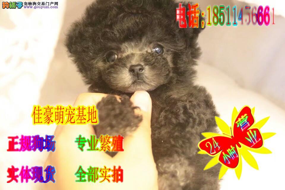 茶杯泰迪,茶杯犬泰迪宝宝,超小体终身质保小体纯种