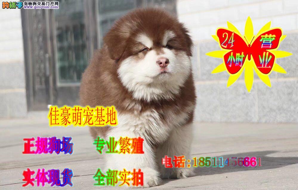 熊版纯种阿拉斯加雪橇犬,正规繁育犬舍,全部实物拍摄