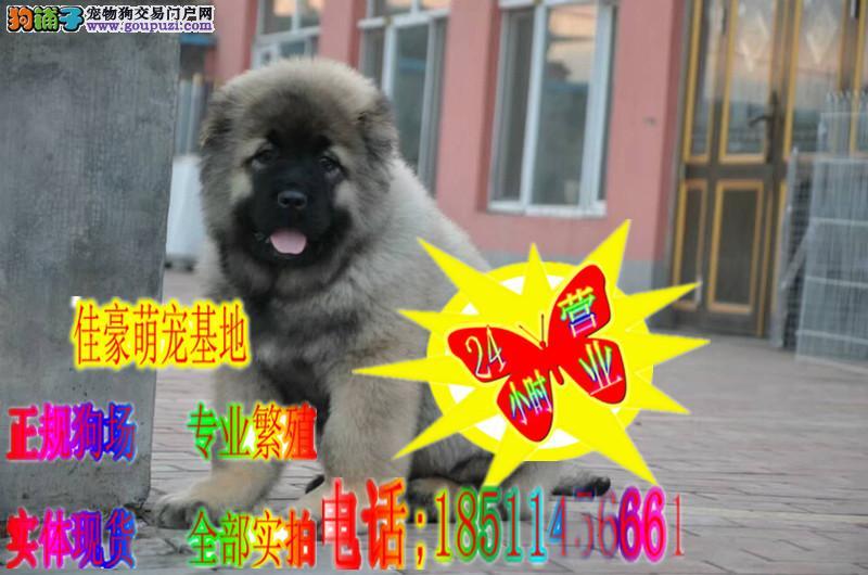 大骨量。纯种巨型高加索犬,专业繁殖高加索犬舍
