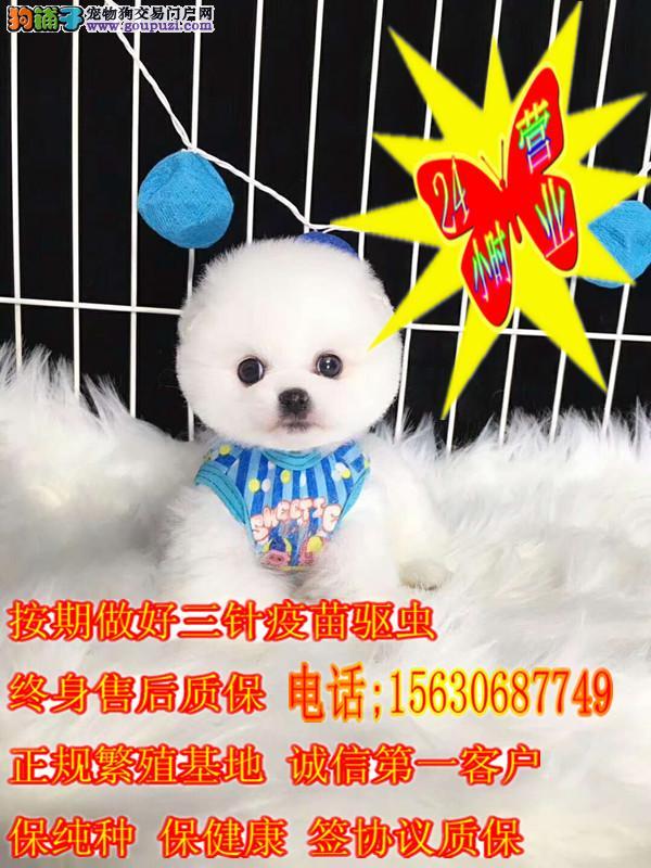 萌萌哒 小球体 哈多利博美犬出售