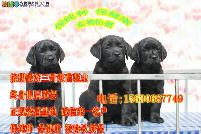 健康质保三个月包退换 出售纯种拉布拉多犬