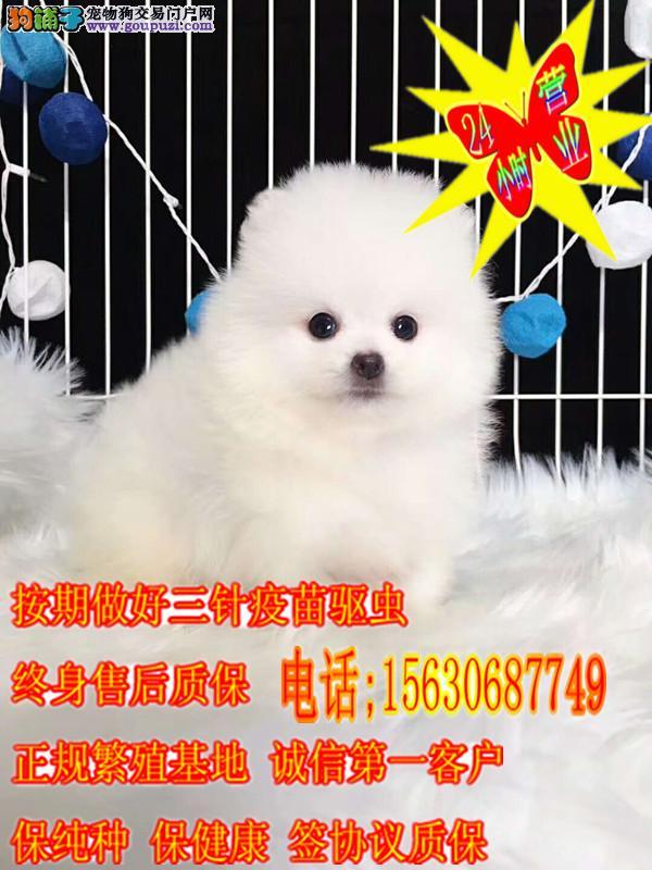 球体纯种博美犬 专业犬舍繁育 可爱俊介犬宝宝