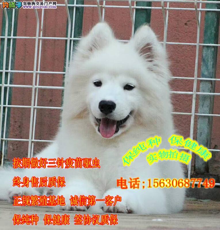 出售健康纯种萨摩耶犬 全国发货 健康质保三个月