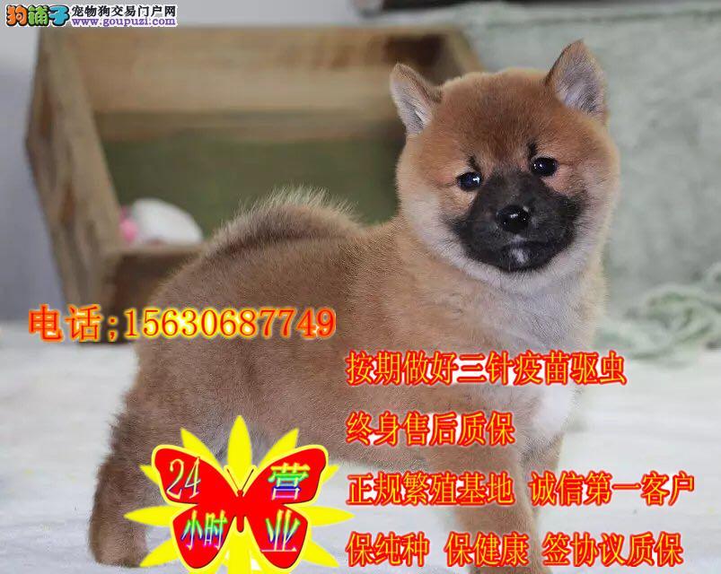 日本进口柴犬专卖 多窝小柴犬热销中 专业繁殖纯正