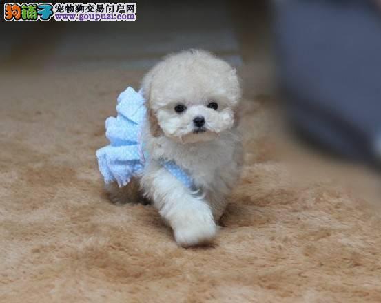 韩国血统娃娃脸小方体纯种泰迪犬,茶杯泰迪犬