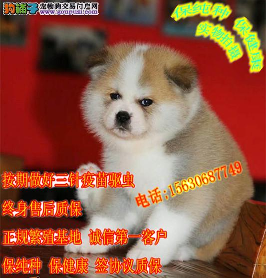 高品质纯种日系秋田犬、血统纯正、保证健康