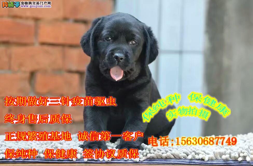 拉布拉多犬 导盲犬 冠军后代 正规犬舍繁育