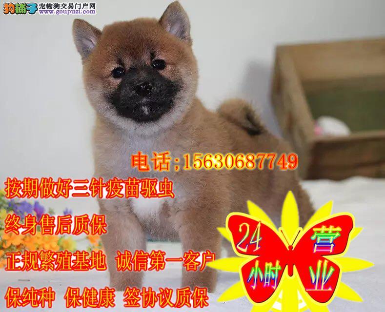 柴犬 赛级血统幼犬 出售 防疫做齐 可视频看狗