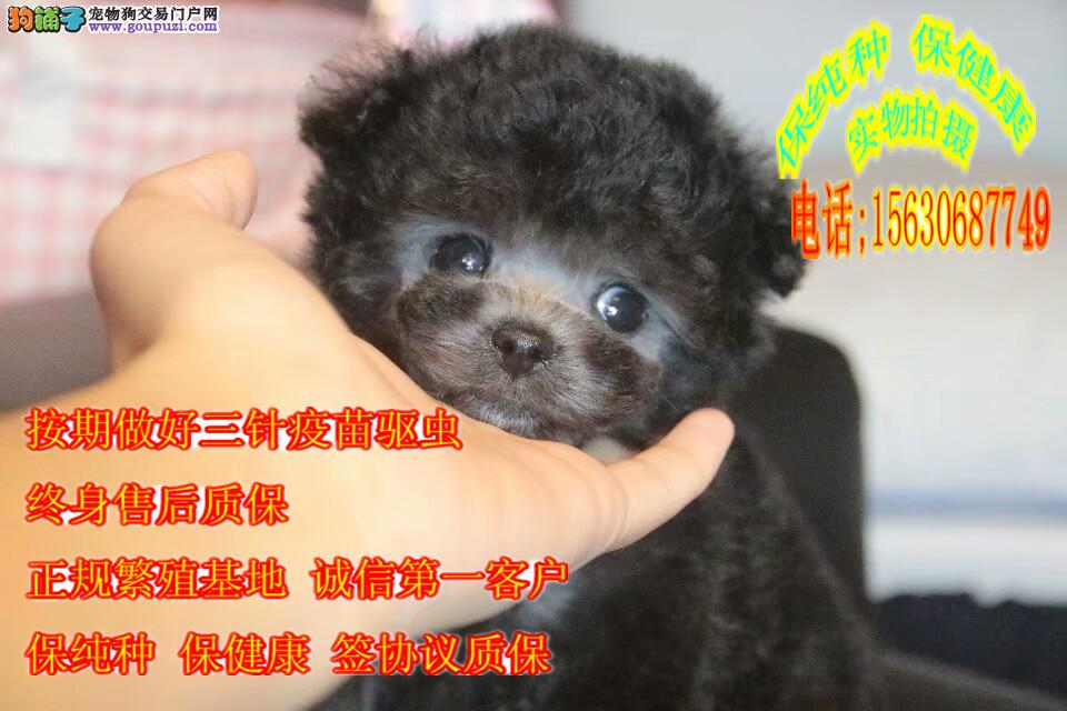 假一赔十,纯种泰迪犬,常年繁殖,包活,带健康证书