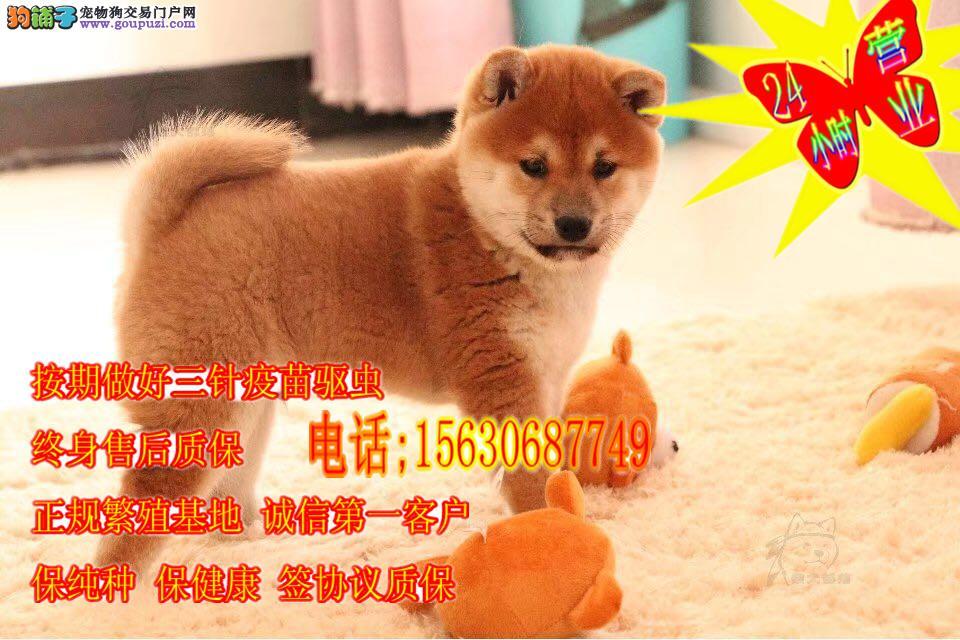 赛级精品柴犬,常年繁殖,2到3个月幼犬,有血统