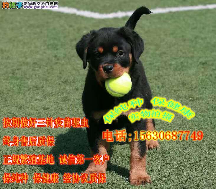 罗威纳户主犬,纯血统,保健康,售保三年