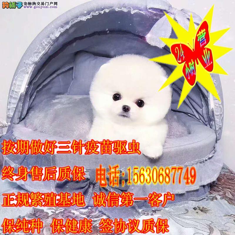 可爱超萌小Q体毛球哈多利博美犬出售