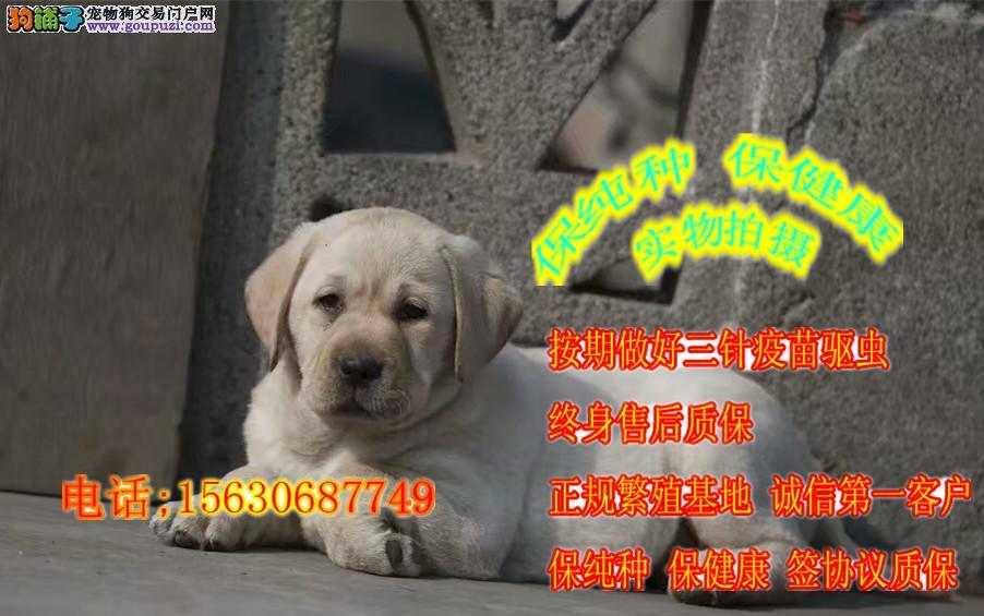 赛级冠军血统纯正 导盲犬拉布拉多犬出售