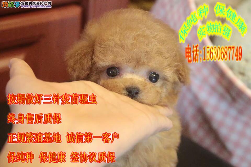 纯种健康泰迪犬 赛级泰迪 茶杯泰迪犬出售