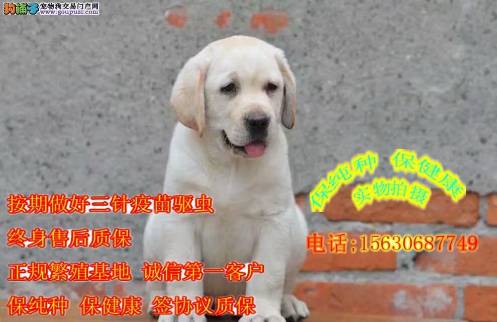 赛级纯种拉布拉多犬 冠军血统 正规犬舍繁育