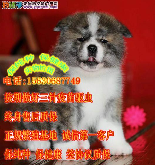秋田犬,纯种日系秋田带证书秋保正规犬舍繁殖
