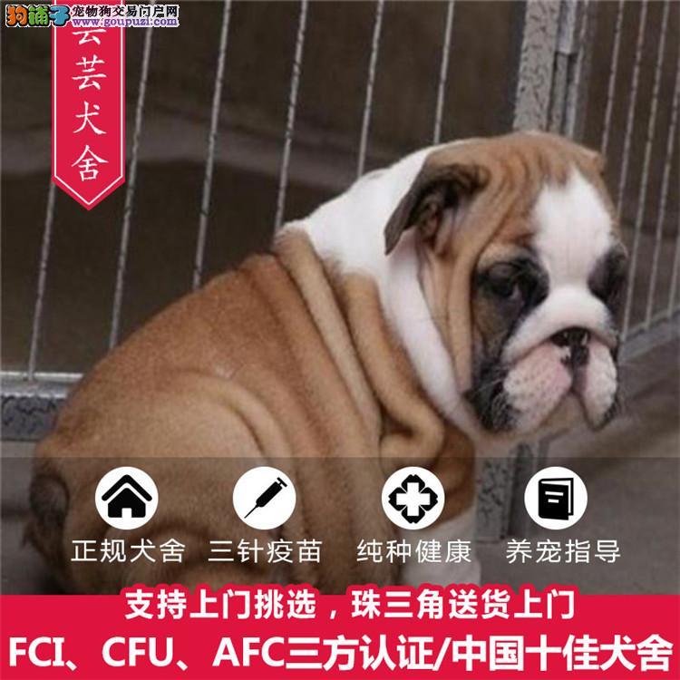出售纯种英国极品斗牛幼犬,品质保证 健康保证