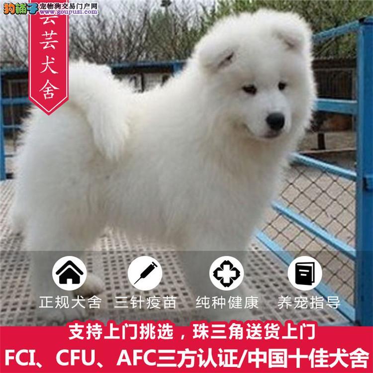 芸芸犬舍出售微笑天使萨摩耶、包活签协议送用品