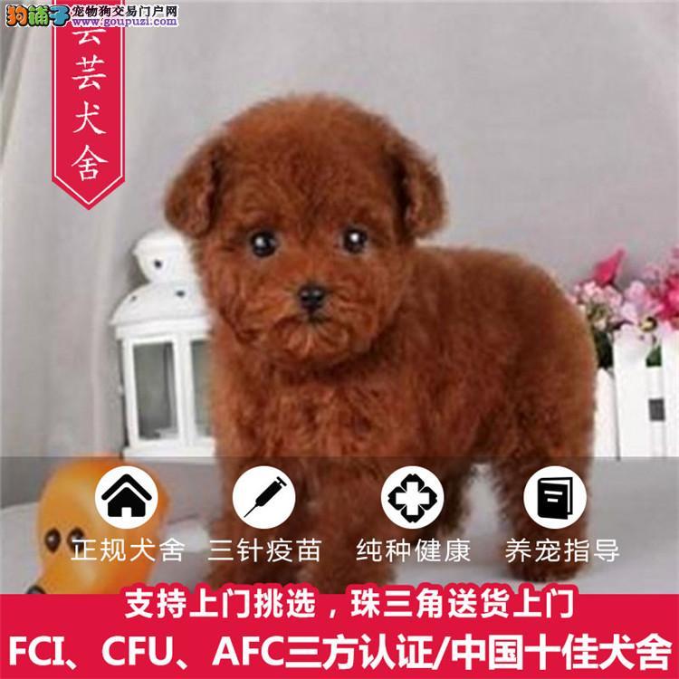 芸芸犬舍、极品贵宾、保纯种和健康、CKU认证犬舍